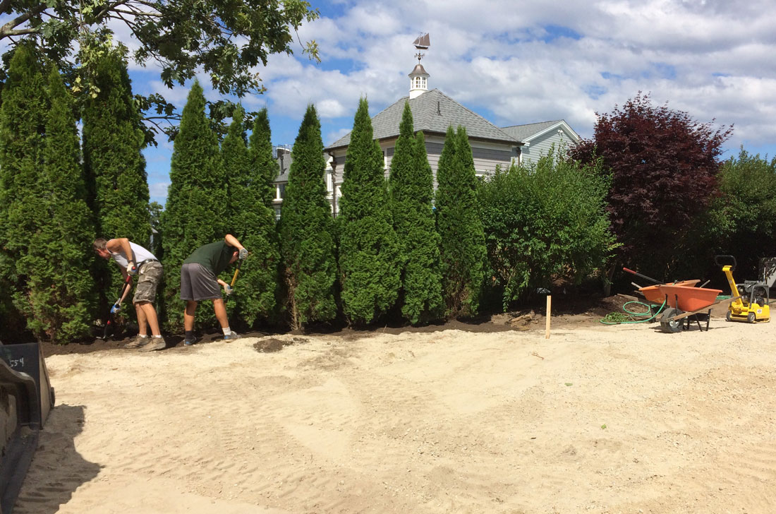 Mature arborvitae are installed as a landscape screen