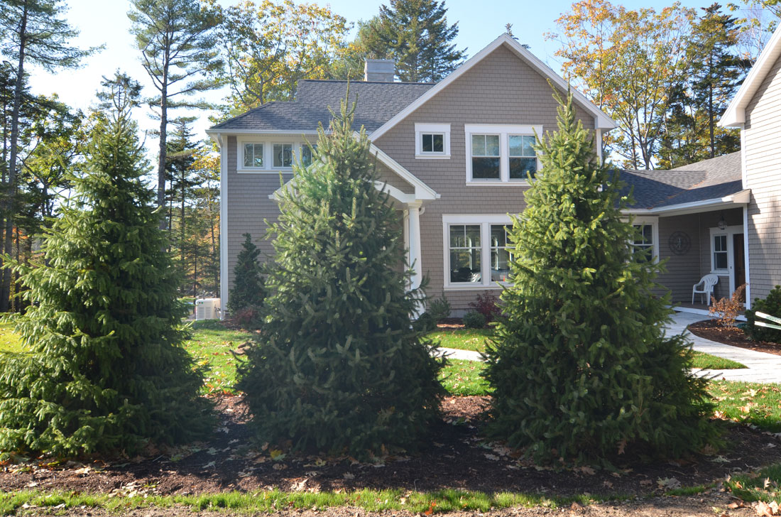 Spruce trees are planted for privacy